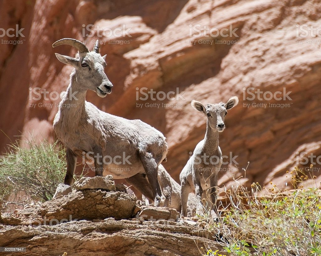 Bighorns in the Canyon stock photo