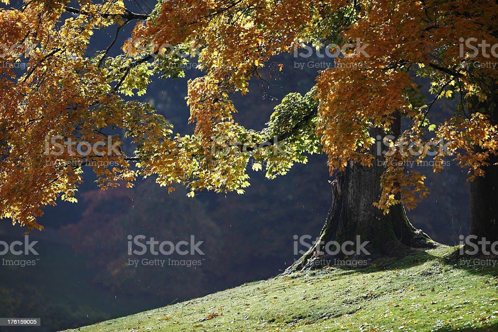 Bigleaf Maple Tree. stock photo