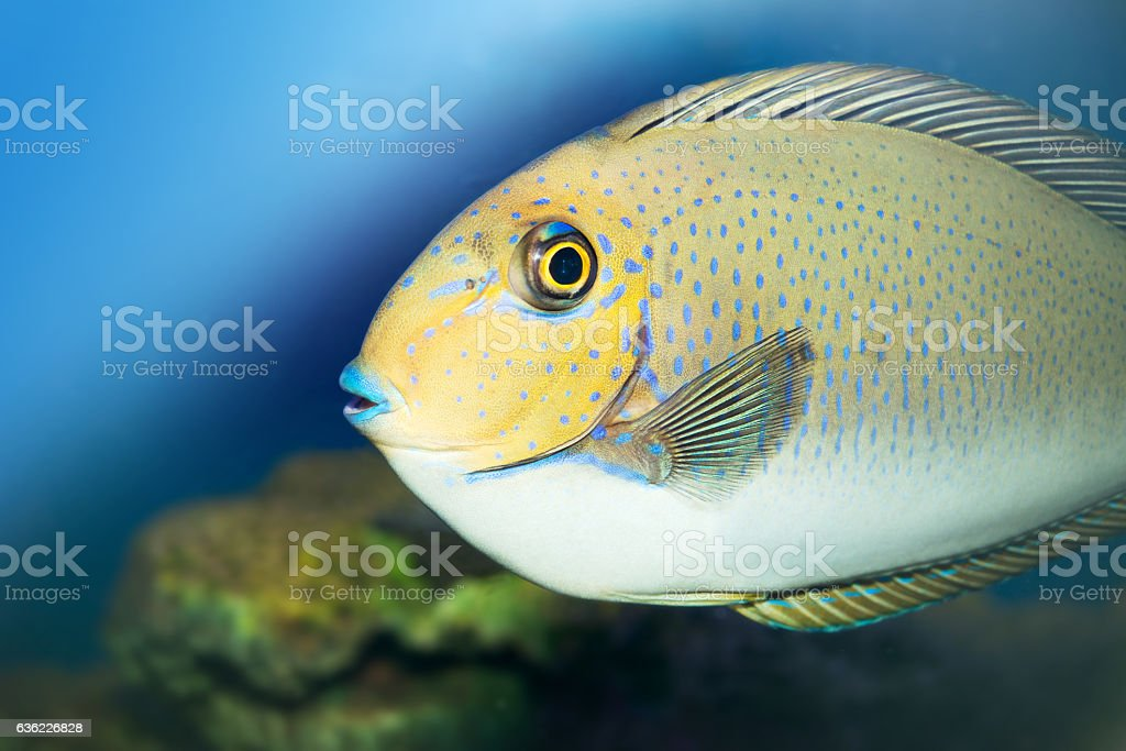 Bignose Unicornfish,Naso Vlamingii stock photo