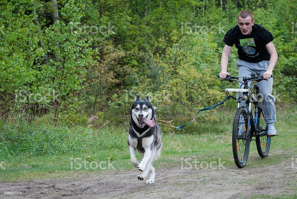 bikejoring with husky stock photo