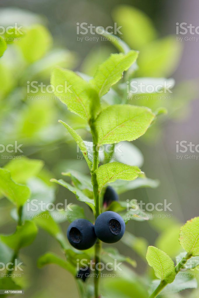 Bilberries in forest royalty-free stock photo
