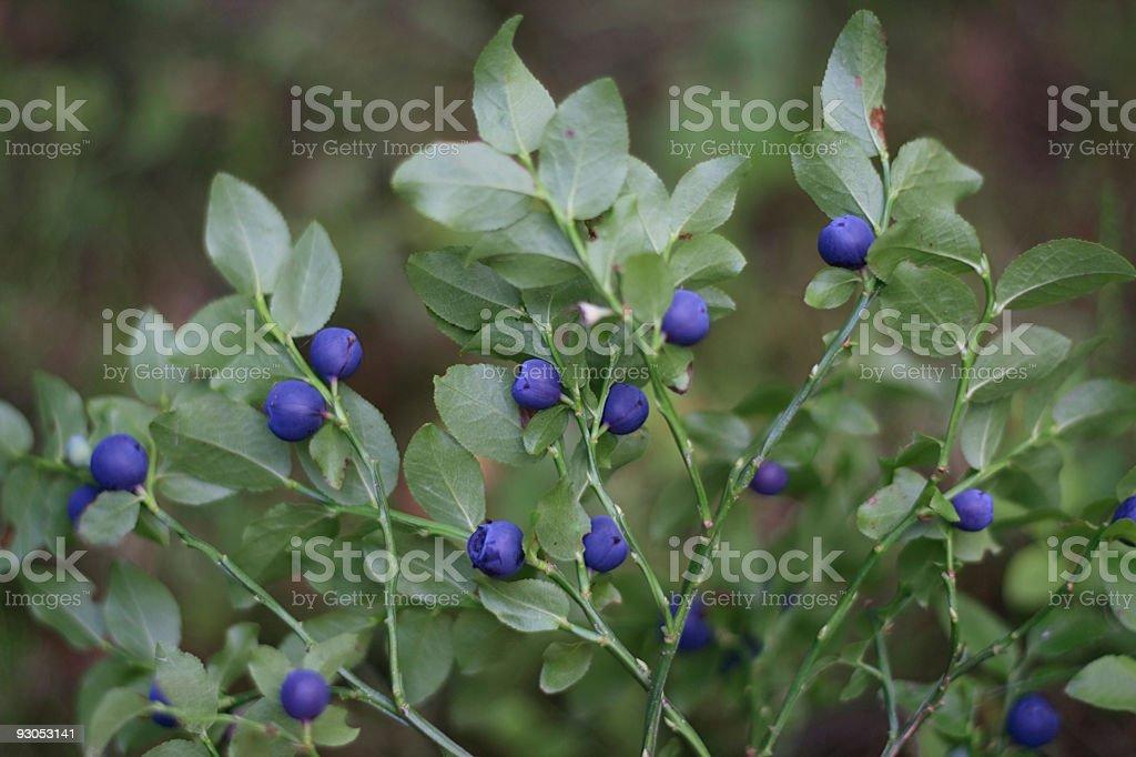 Bilberry Bush stock photo