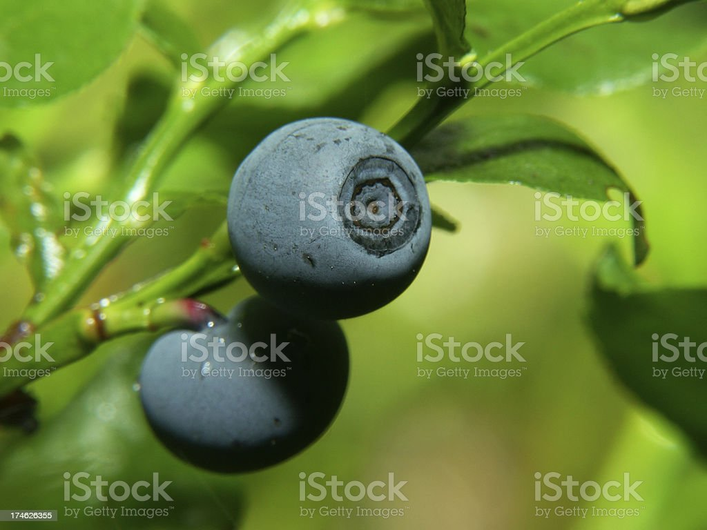 Bilberry royalty-free stock photo