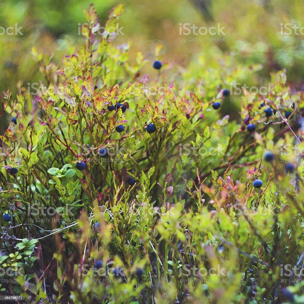 Bilberry-bush royalty-free stock photo