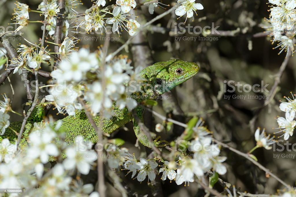 Lacerta bilineata stock photo