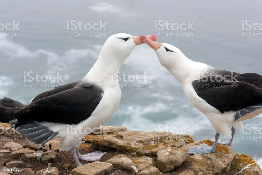 Bill-to-Bill Mating Gestures of Black-Browed Albatross stock photo