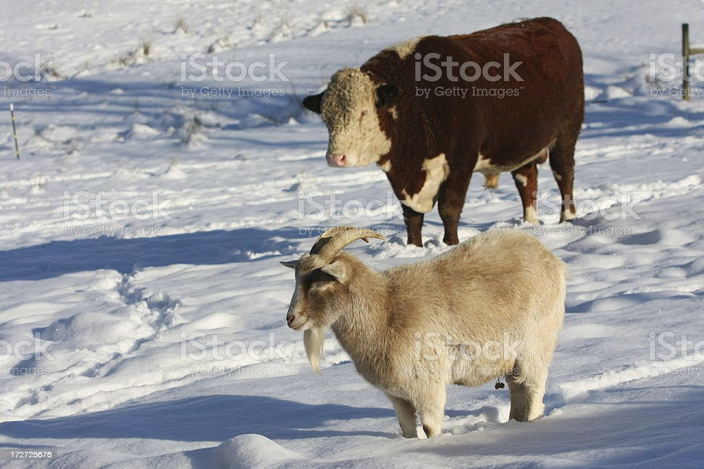 Billy and Bull stock photo