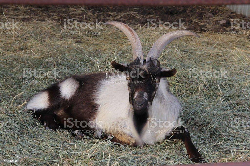 Billy goat gruff stock photo