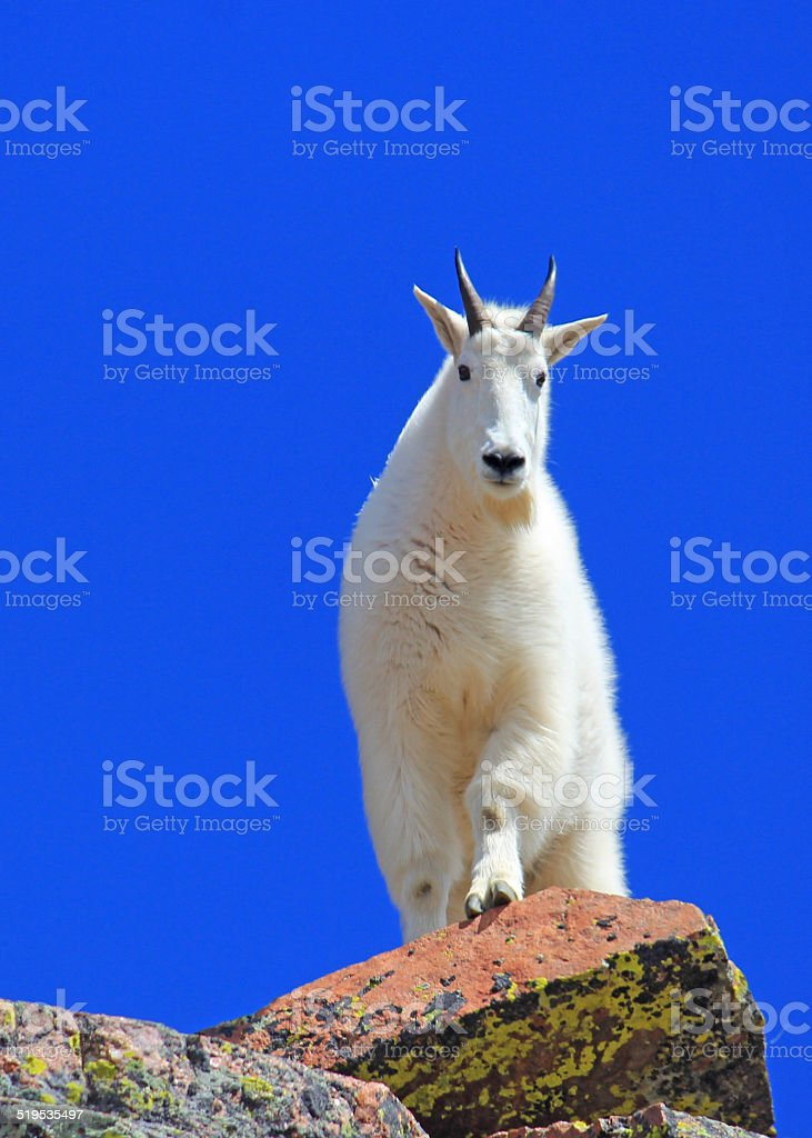 Billy goat nearing the summit of Mount Solitude. stock photo