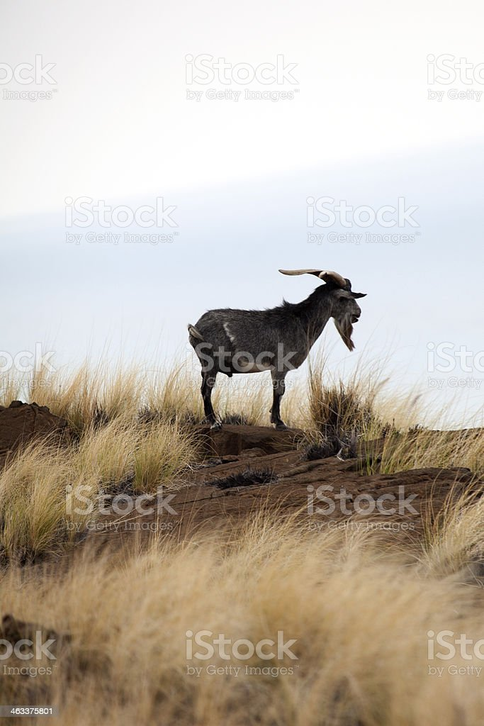 Billy goat standing in a tropical Hawaiian field overlooking ocean stock photo