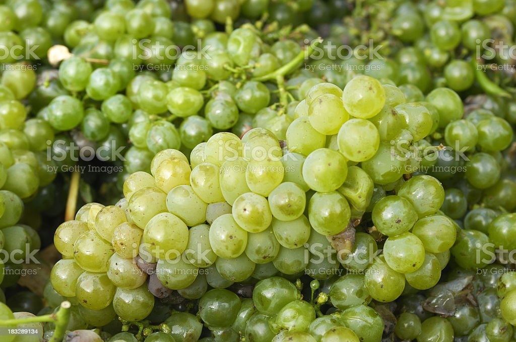 Bin Full of Just Harvested Sauvignon Blanc Grapes stock photo
