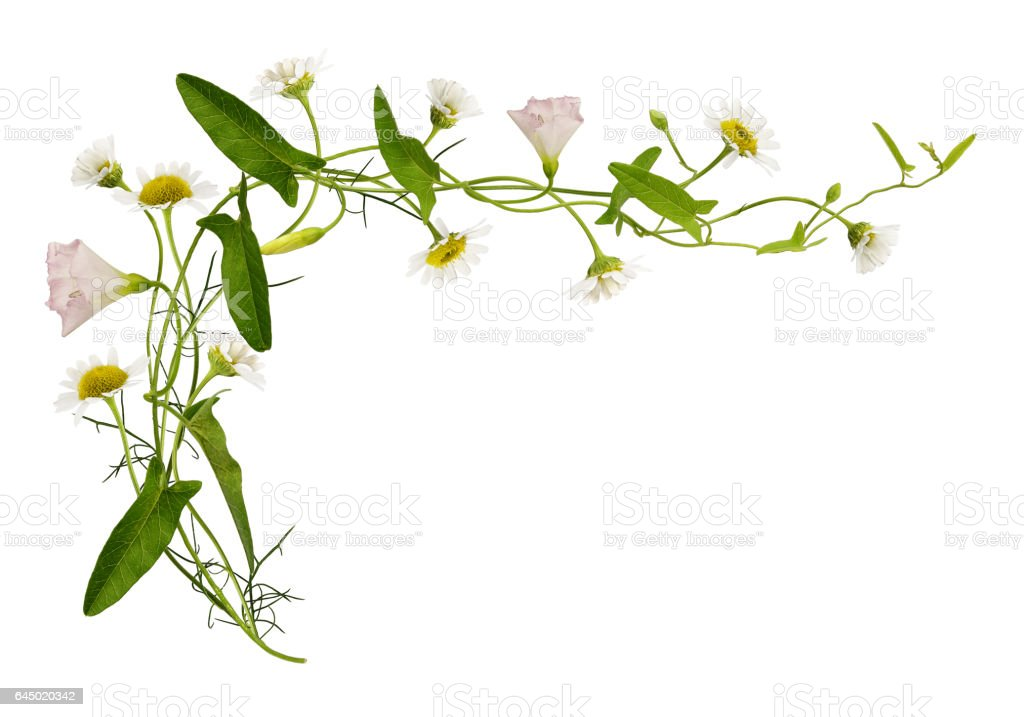 Bindweed and daisy flowers and leaves stock photo