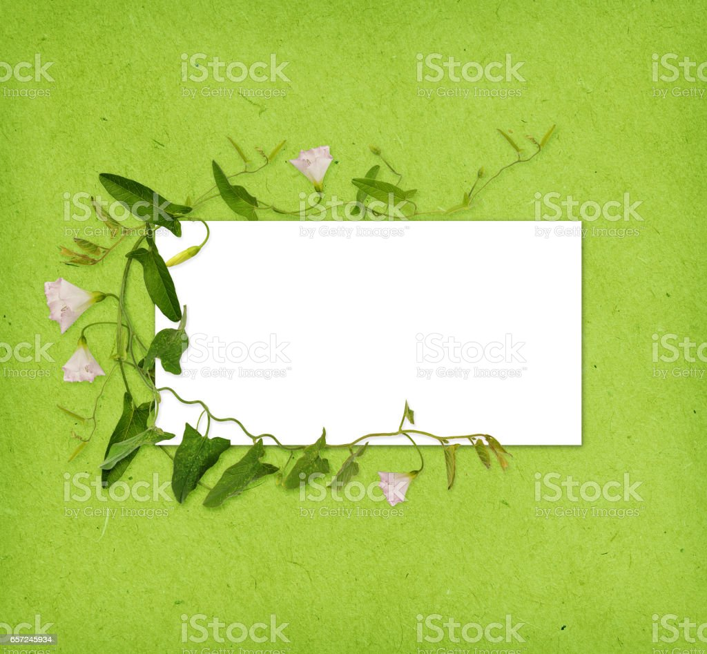 Bindweed flower and leaves in a frame on green paper stock photo