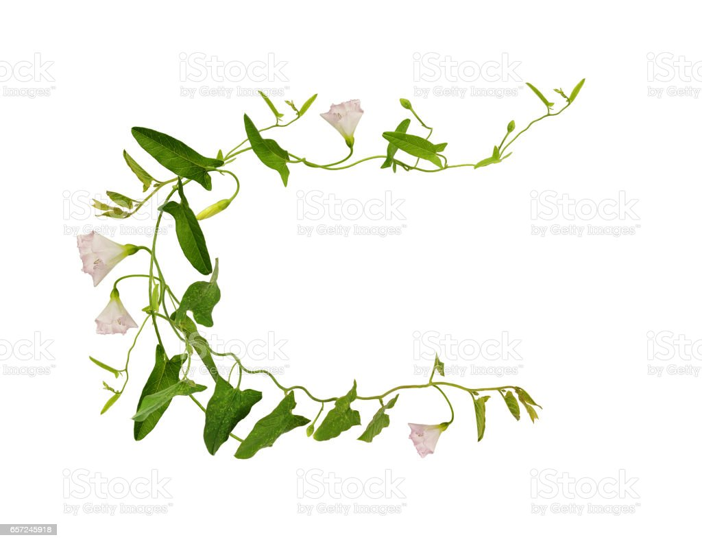 Bindweed flower and leaves in a frame stock photo
