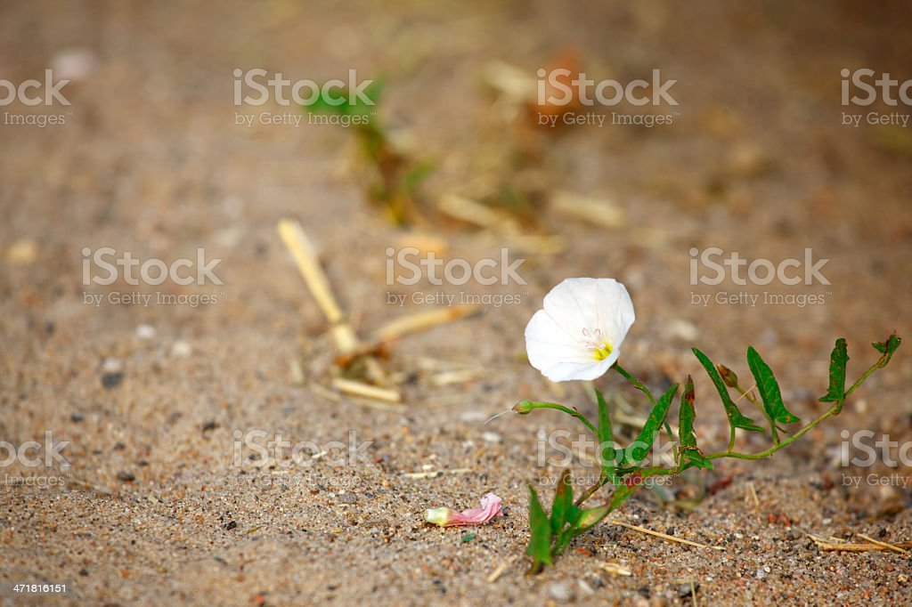 Bindweed on a sandy road royalty-free stock photo