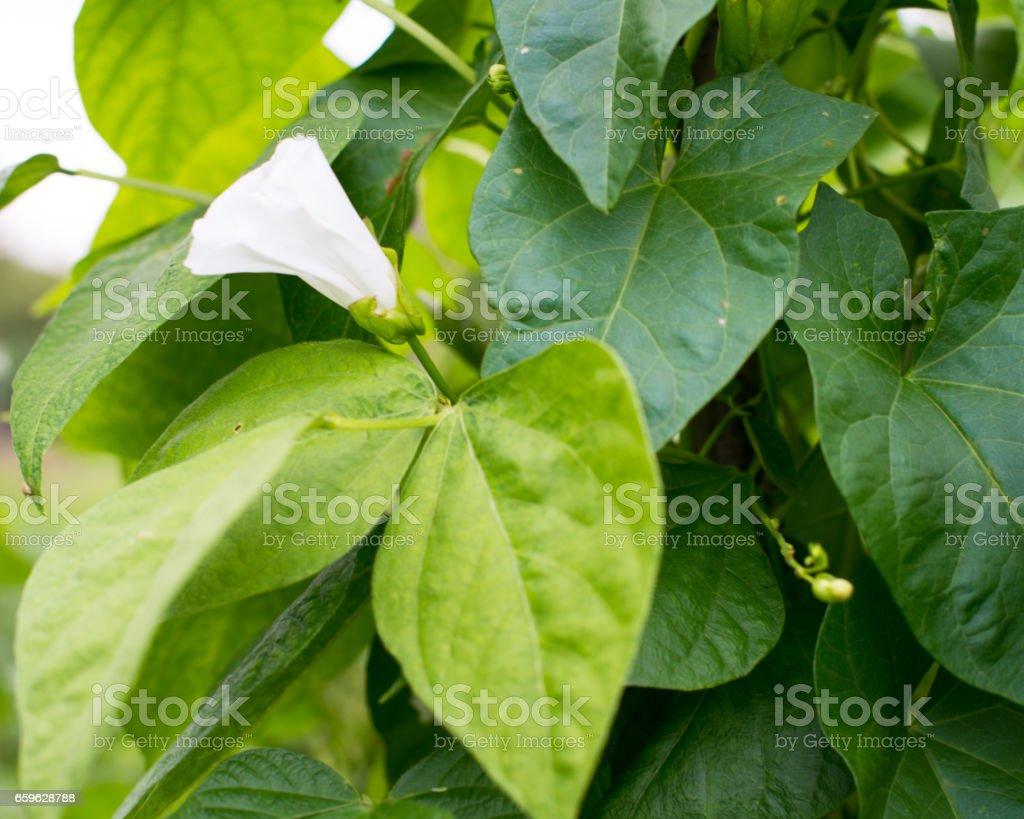 Bindweed on the bean vines stock photo
