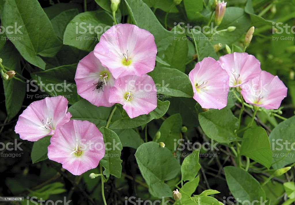 bindweed with pink flowers stock photo