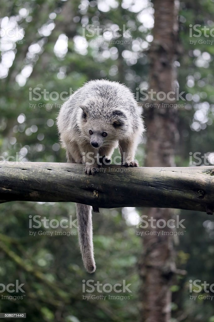 Bintorong, Arctictis binturong stock photo