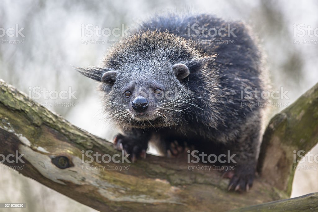 Binturong or bearcat on a tree stock photo