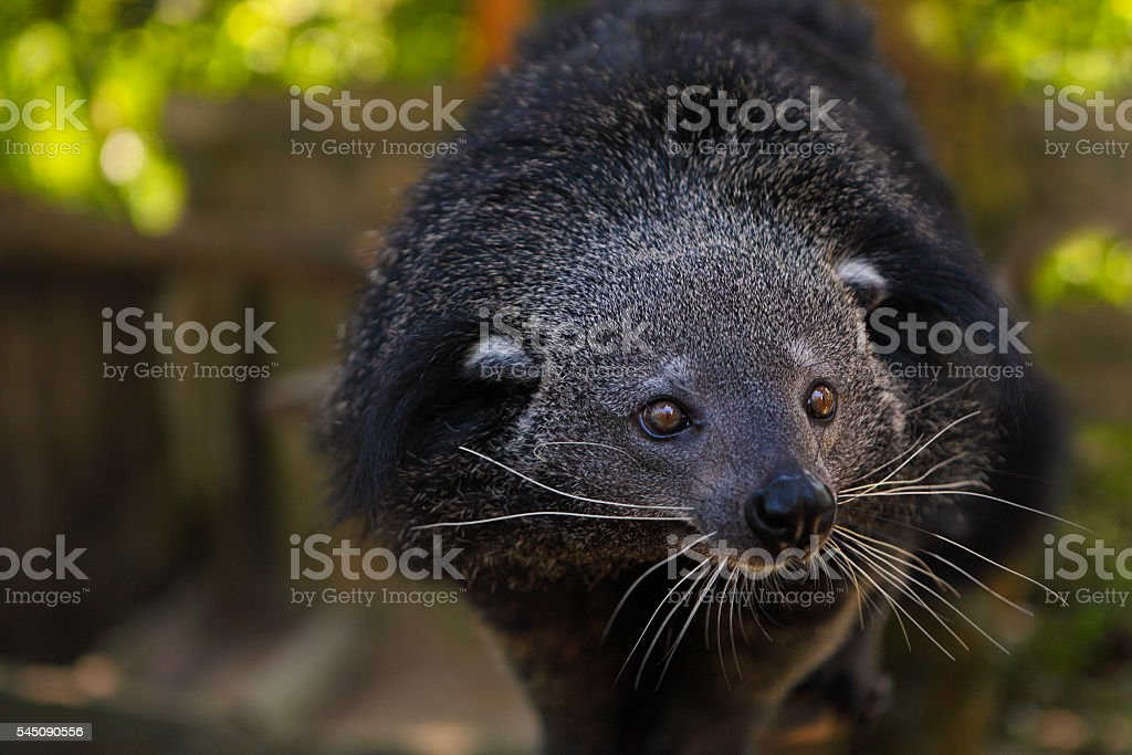 Binturong or bearcat (Arctictis binturong) stock photo