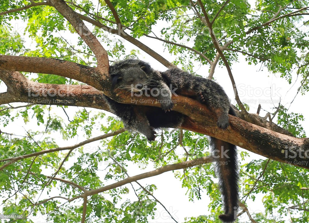 Binturong or Bearcat (Arctictis binturong) sleep on the tree branch. stock photo