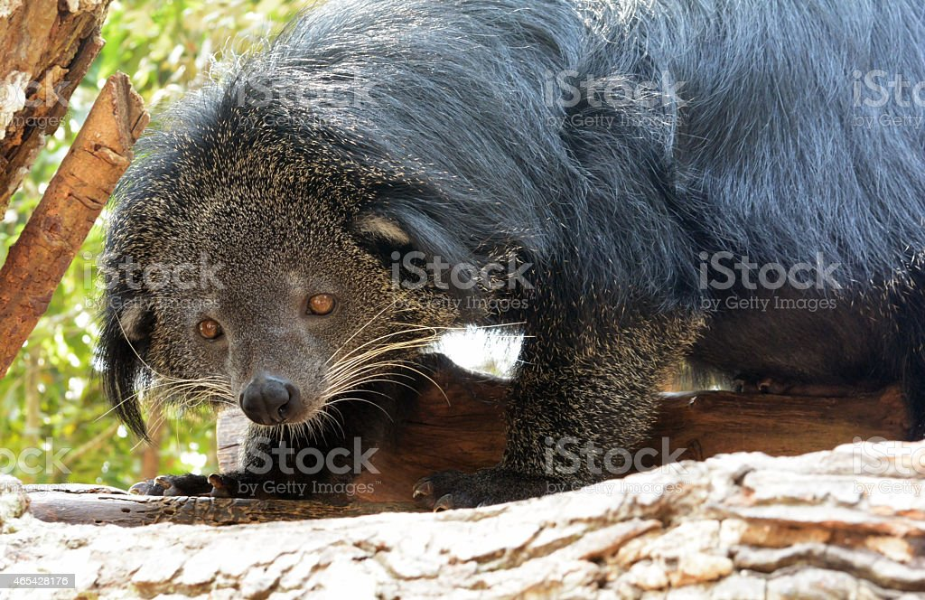 binturong (Bear-cat) stock photo