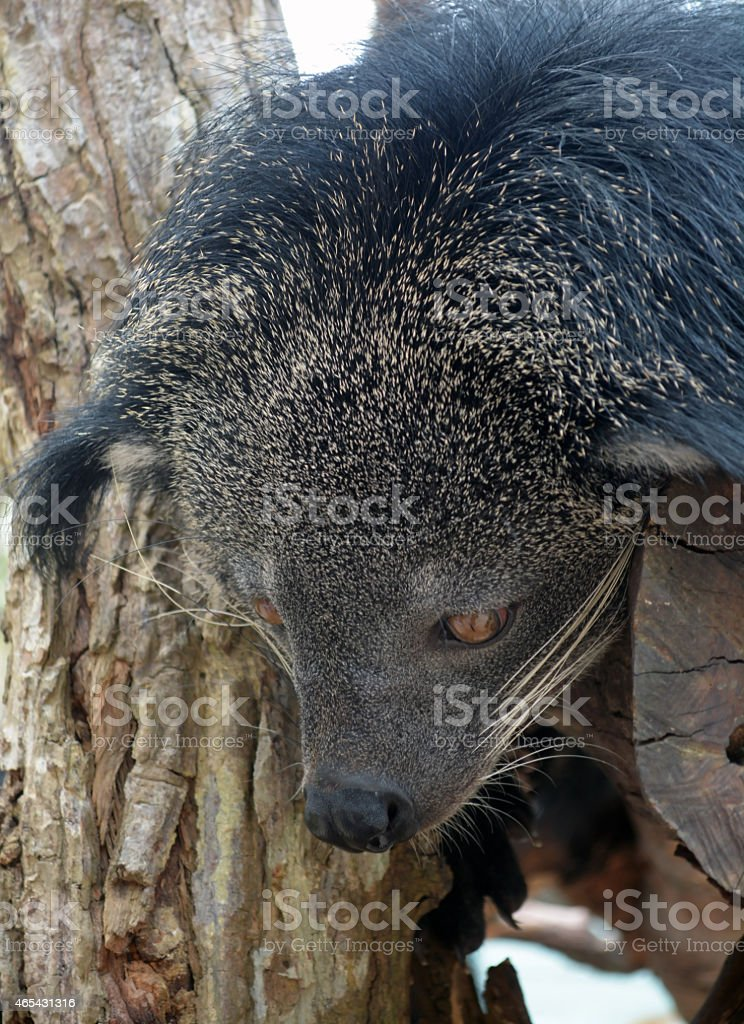 binturong (Bear-cat) stock photo