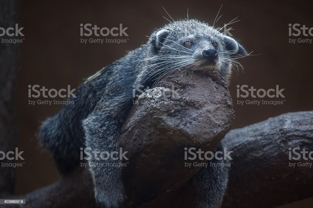Binturong (Arctictis binturong) stock photo