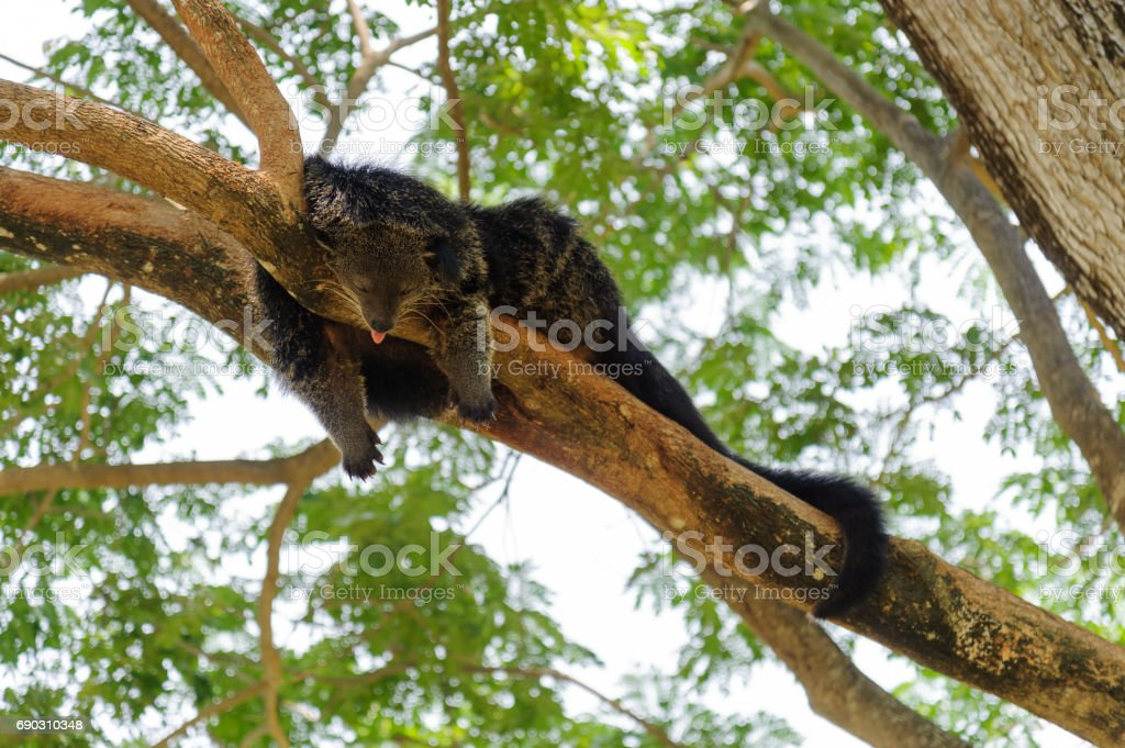 Binturong sleeping on tree branch stock photo