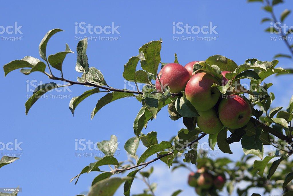 Bio Apples royalty-free stock photo