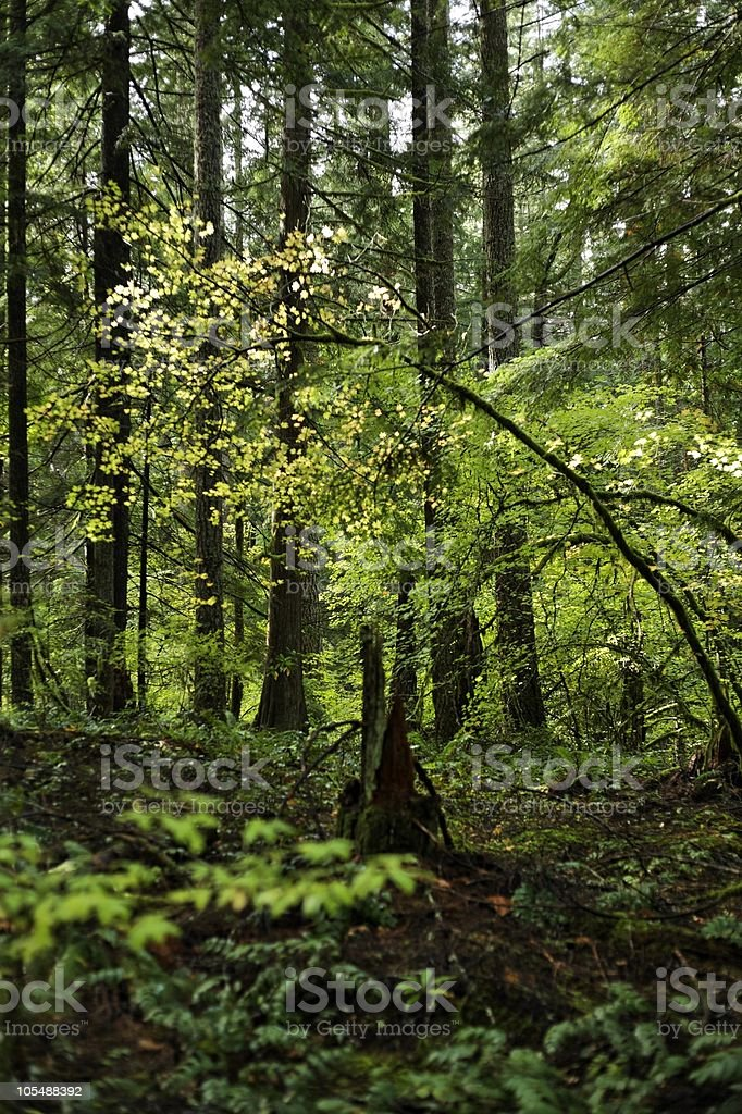 Biodiversity of plants in an old growth forest woods royalty-free stock photo