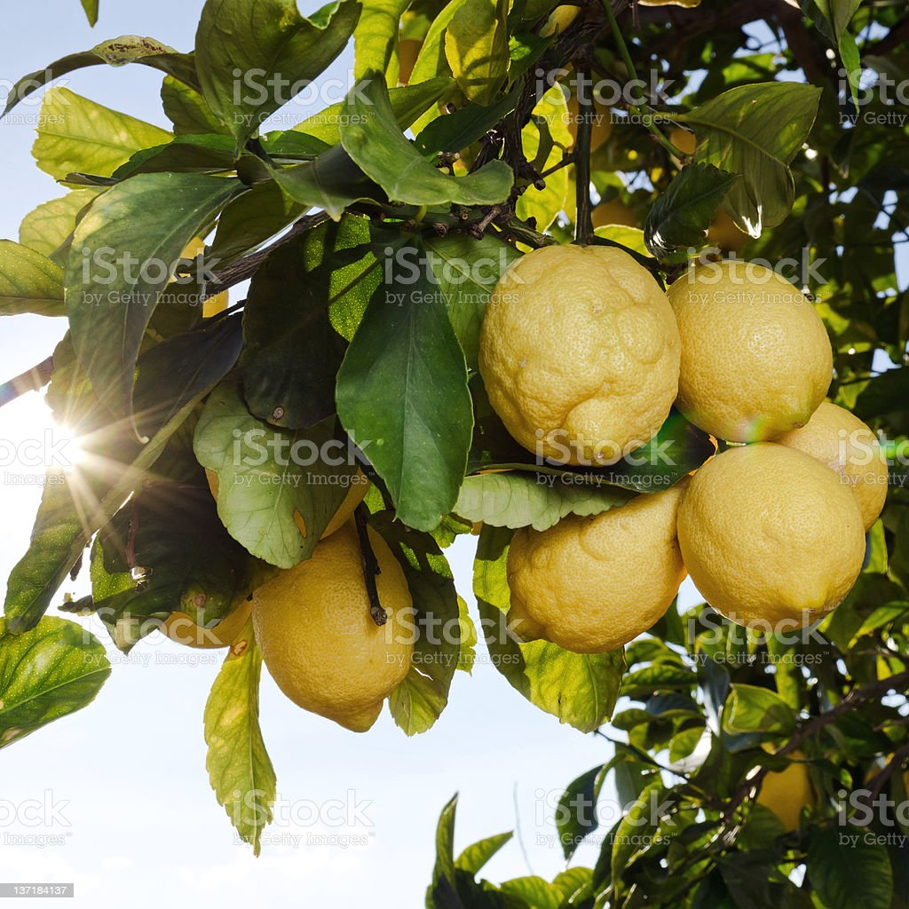 Biologic lemons royalty-free stock photo