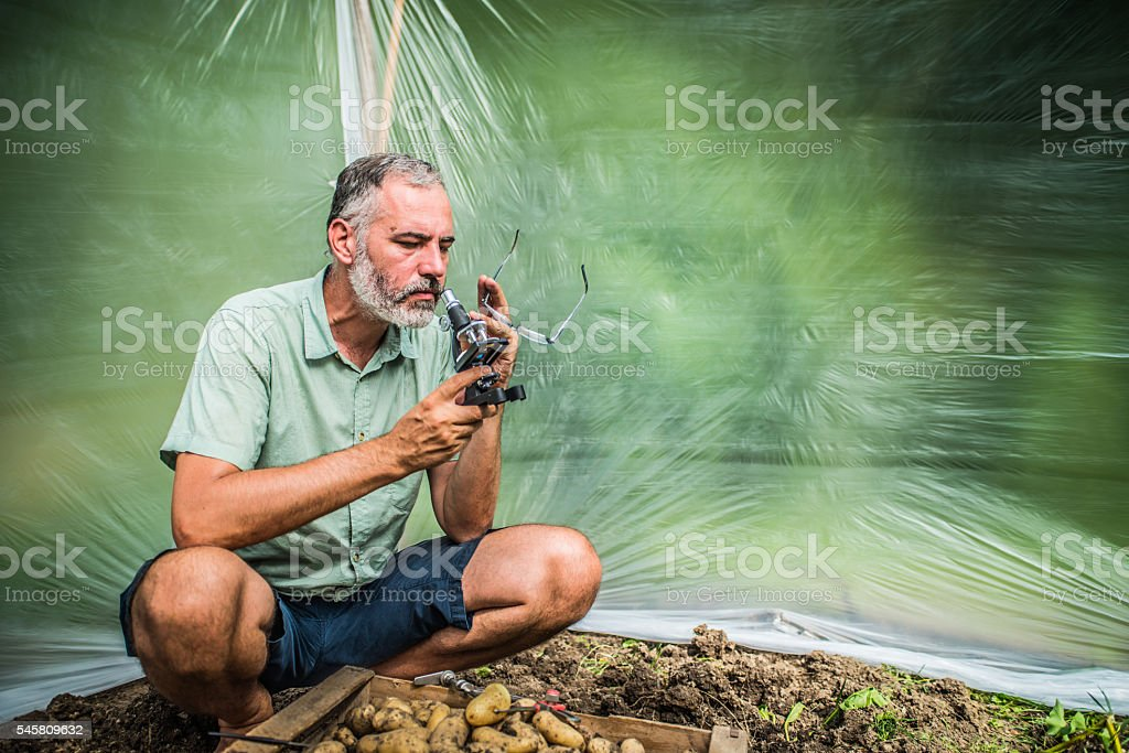 Biological experimentation on potato crop stock photo