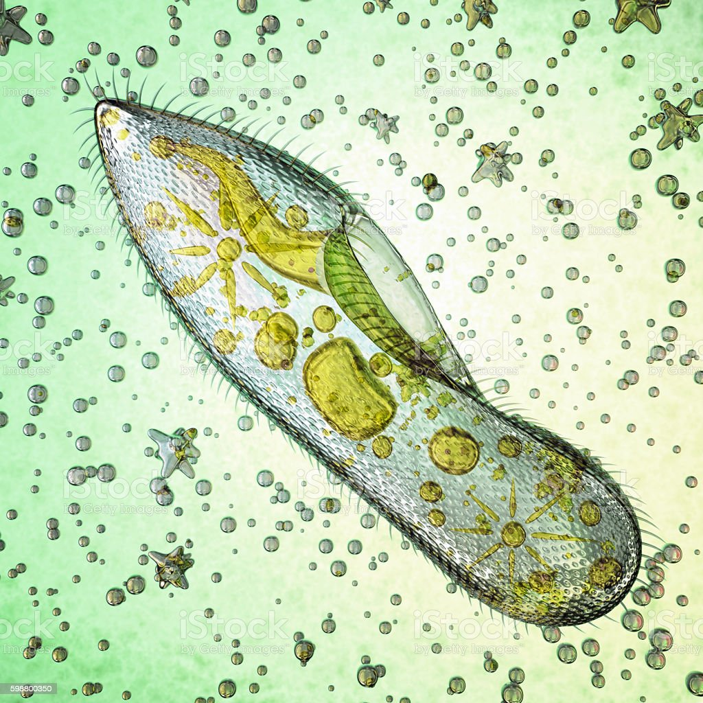 Biological micro organism paramecium caudatum stock photo