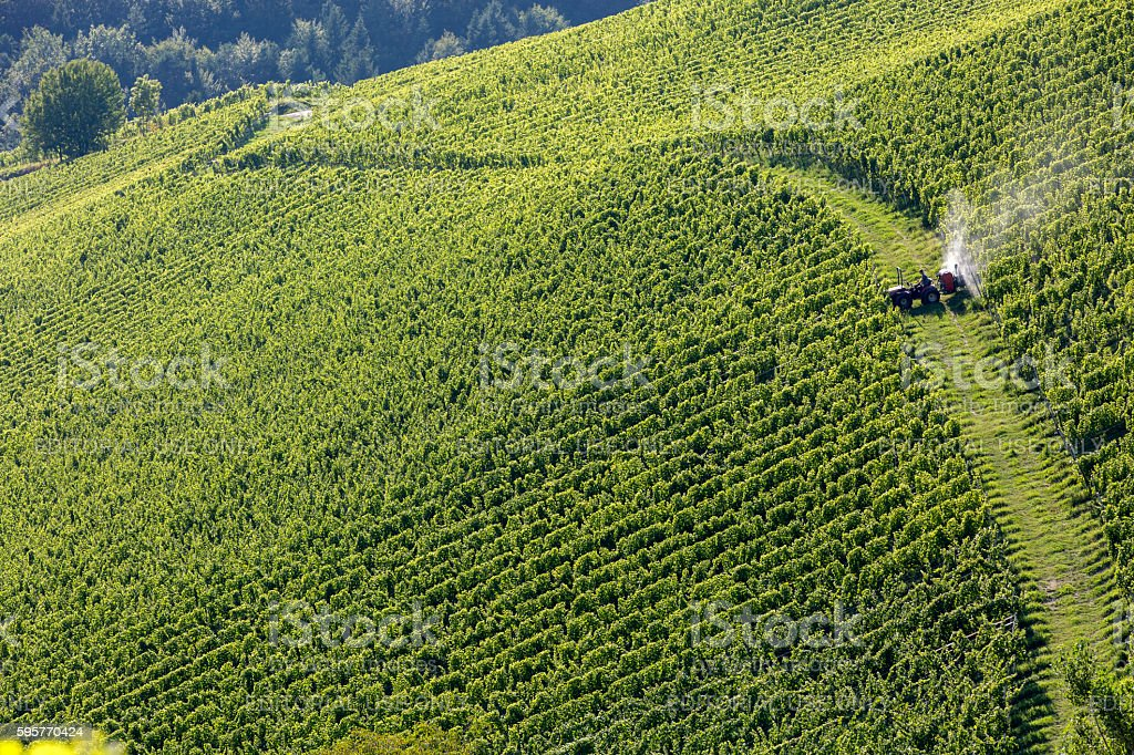 biological pest control in a vineyard stock photo
