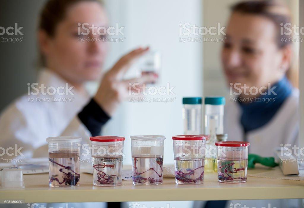 Biologist looking at frog skeleton specimen stock photo