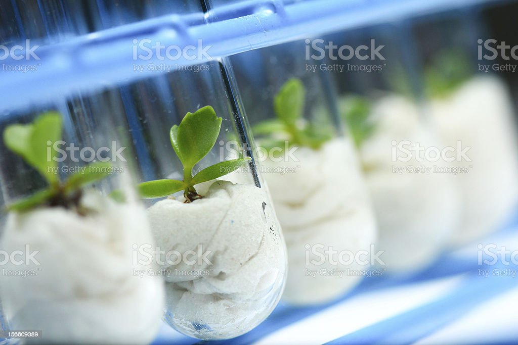 Biotechnology - Plant Culture royalty-free stock photo