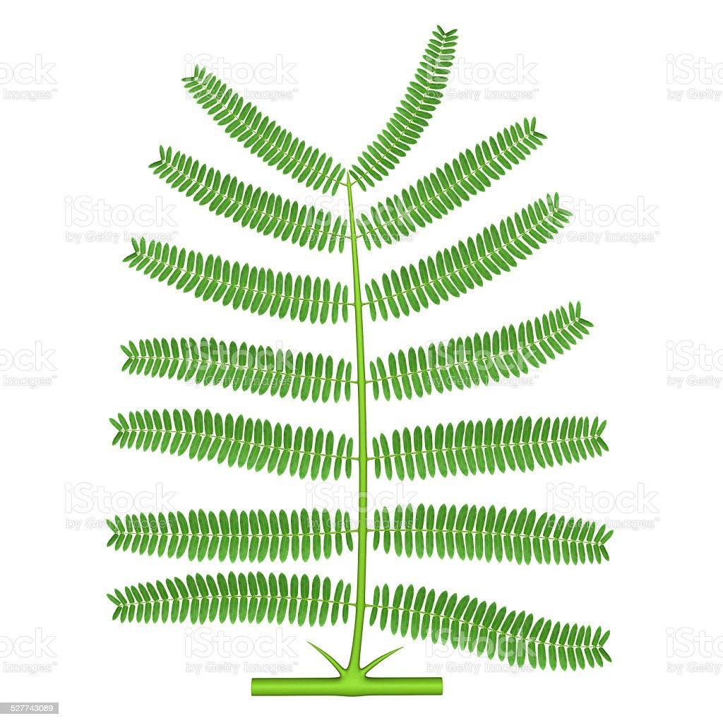 Bipinnate (Acacia) stock photo
