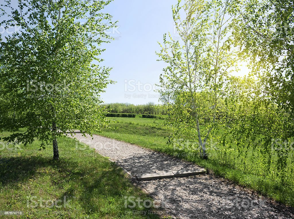 Birch alley at sunrise royalty-free stock photo