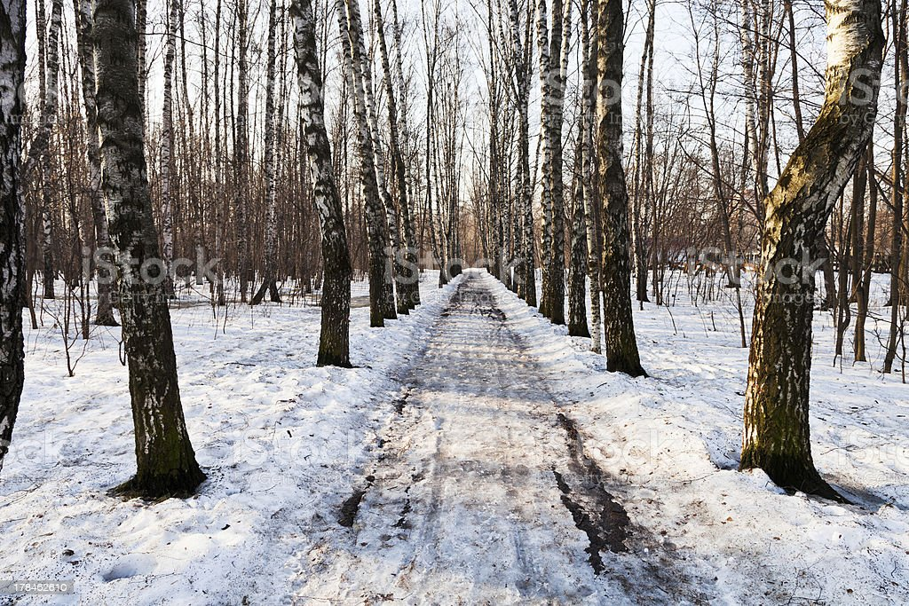 birch alley in spring day royalty-free stock photo