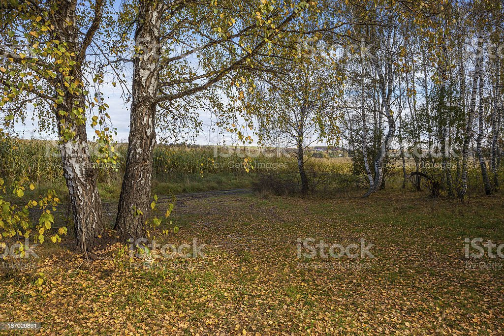 birch and autumn royalty-free stock photo