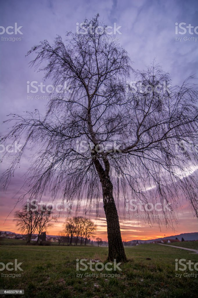 Birke bei Sonnenaufgang stock photo
