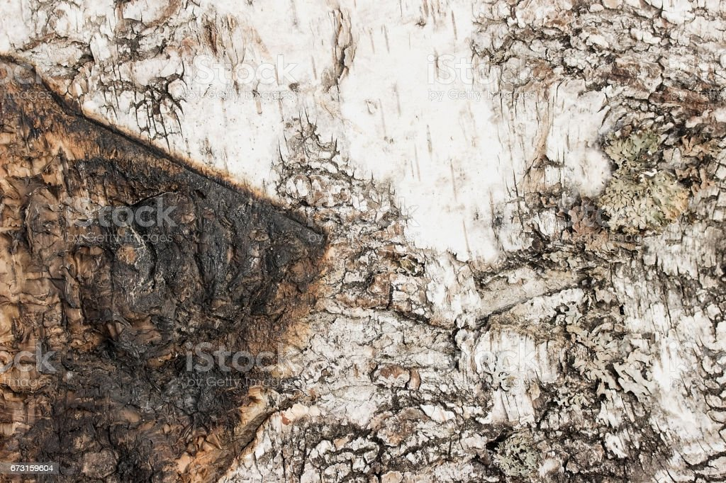 Birch Bark with burn trace Texture or background. stock photo