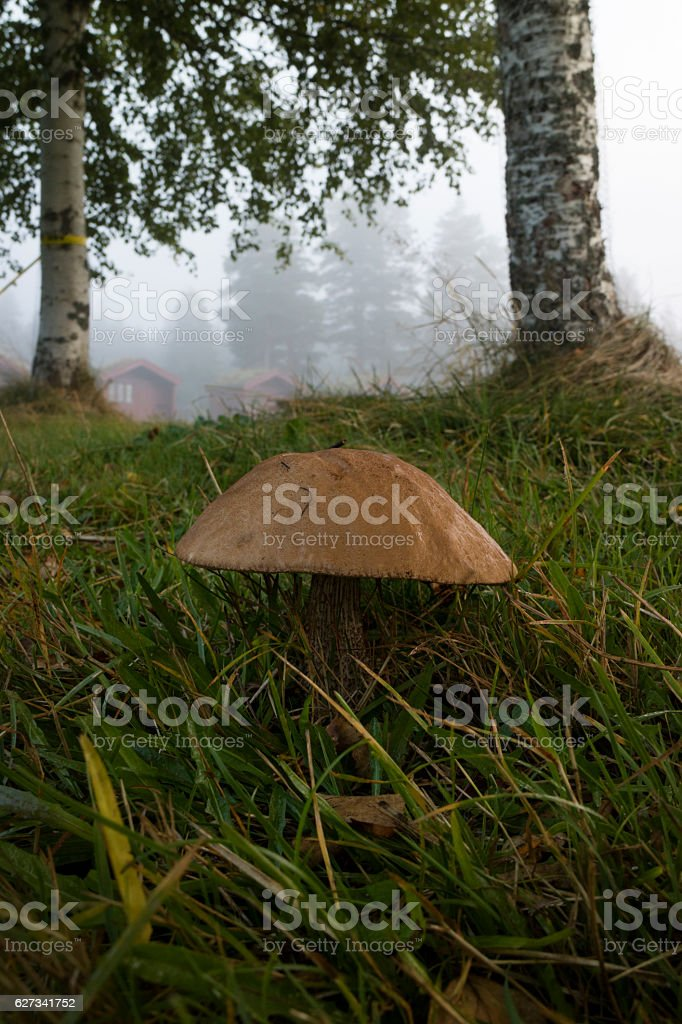 Birch bolete growing in the woods stock photo