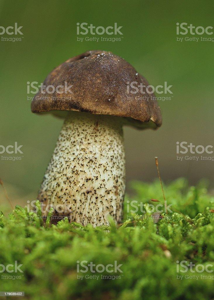 birch bolete mushroom in the grass royalty-free stock photo