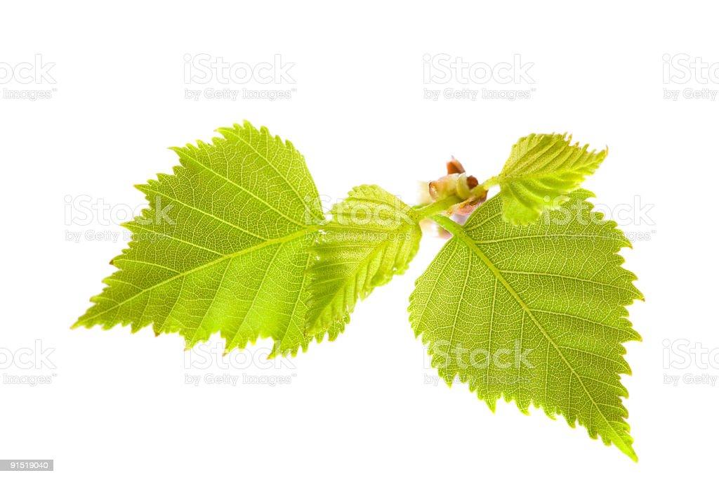birch branch royalty-free stock photo