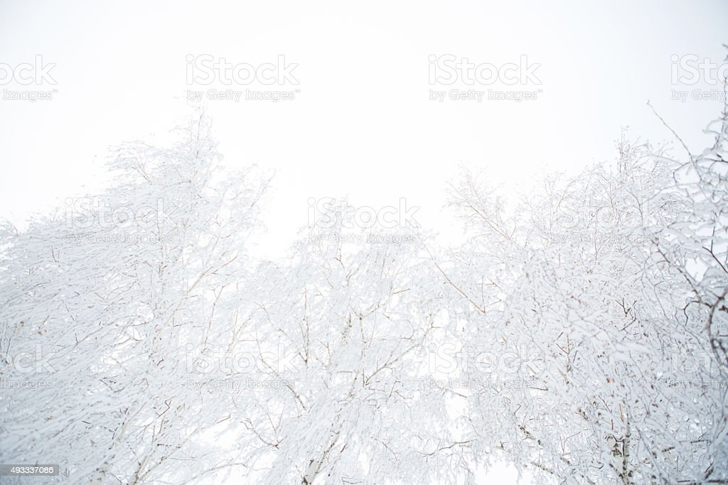 Birch branches covered with hoarfrost stock photo