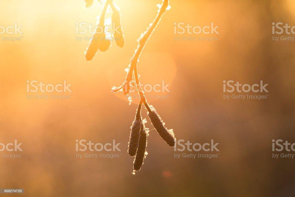 birch bud stock photo