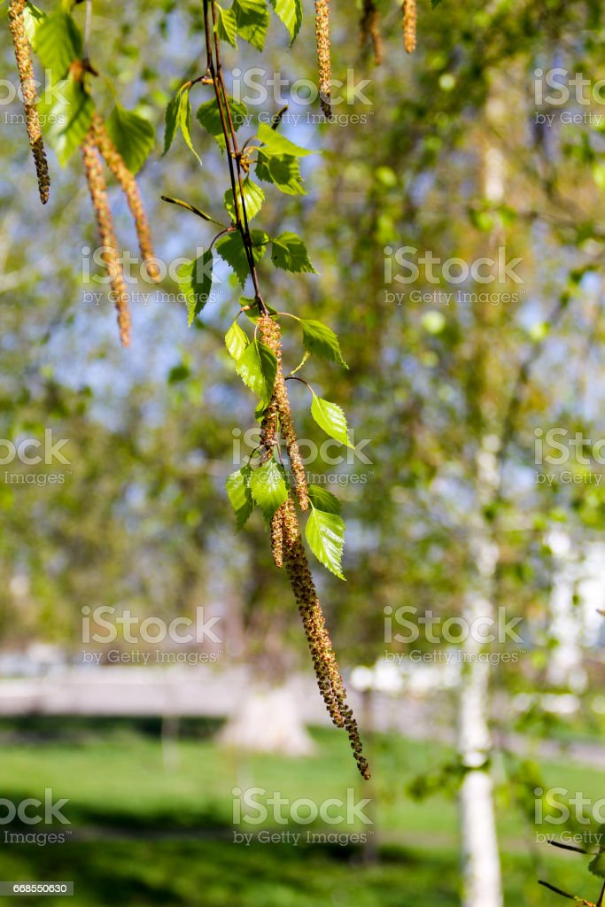 Birch catkins with green leaves at tree branches stock photo