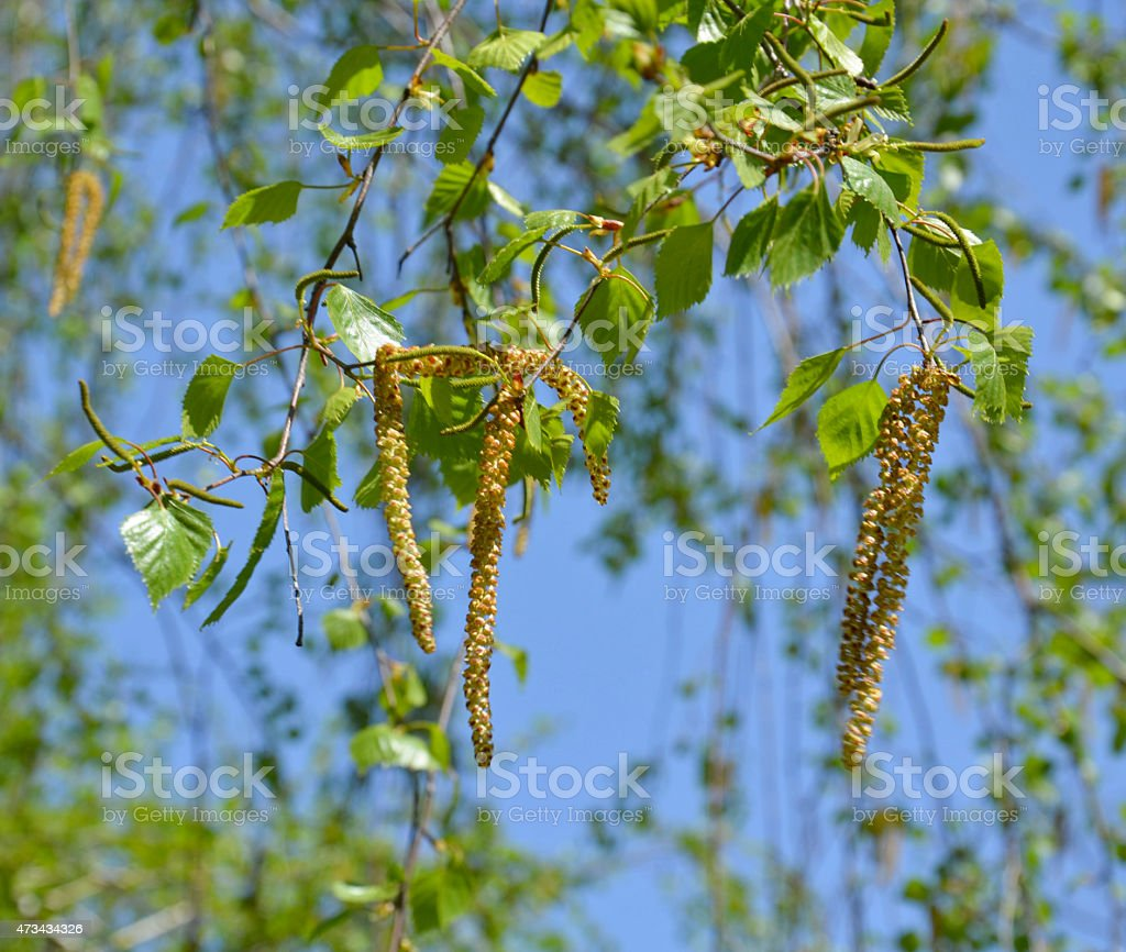 Birch earrings blooming spring day stock photo